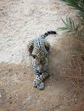 Leopardo sonolento imagem de stock royalty free