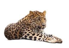 Leopardo sopra bianco fotografia stock libera da diritti