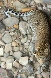 Leopardo - sotto adulto Fotografie Stock Libere da Diritti
