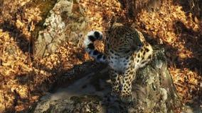 Leopardo stupefacente ma raro dell'Amur in Primorsky Safari Park, Russia archivi video