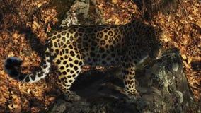 Leopardo stupefacente ma raro dell'Amur in Primorsky Safari Park, Russia stock footage