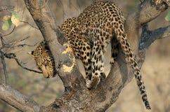Leopardo su un albero Fotografia Stock Libera da Diritti