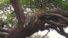 Leopardo su un albero di Ndutu stock footage