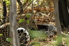 Leopardo su un'uccisione Fotografia Stock Libera da Diritti