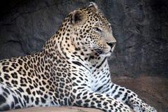 Leopardo (Sudafrica) Immagine Stock Libera da Diritti