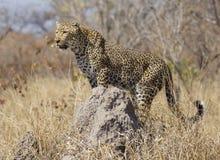 Leopardo sul monticello della termite, Sudafrica Fotografie Stock Libere da Diritti