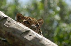 Leopardo sull'albero Immagini Stock Libere da Diritti