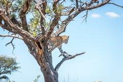 Leopardo sull'allerta nel parco nazionale di Kruger, Sudafrica Fotografie Stock Libere da Diritti