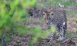 Leopardo sulla caccia Immagini Stock Libere da Diritti