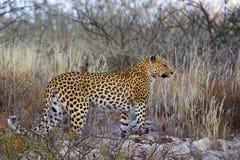 Leopardo sulle rocce ed in erba asciutta Immagine Stock