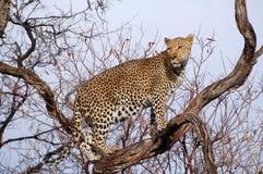 Leopardo surpreendente em uma árvore Namíbia foto de stock
