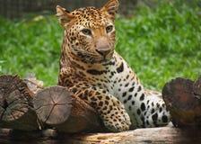 Leopardo Tailândia Imagens de Stock Royalty Free