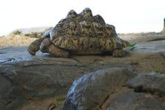 Leopardo Tortois che espone al sole su alcune rocce fotografie stock