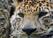 Leopardo in un ritratto dell'albero Fotografia Stock