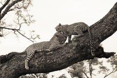 Leopardo y cachorro fotografía de archivo