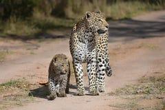 Leopardo y cachorro integrales en un camino de la grava imagen de archivo