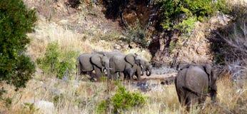 Leopardo y elefantes Fotografía de archivo libre de regalías