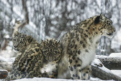 Leopardos de neve Fotos de Stock Royalty Free