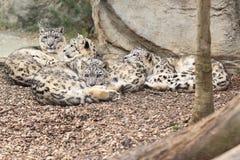 Leopardos de neve de encontro Imagens de Stock Royalty Free