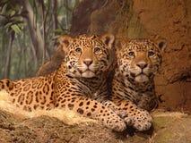 Leopardos vigilantes Imagen de archivo