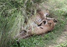 Leopardpar har en vila i ett gräs. Lös naturbiopark. Royaltyfria Bilder