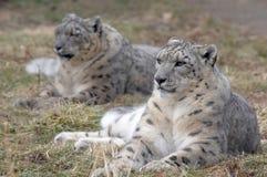 leopardparsnow royaltyfri bild