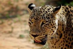 leopardperser royaltyfri bild