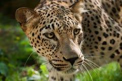 leopardperser Royaltyfri Fotografi