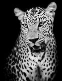 Leopardporträt Stockfoto