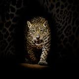Leopardporträt Lizenzfreie Stockfotografie