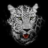 Leopardporträt Stockfotos