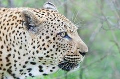 Leopardporträt Stockfotografie