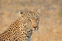 Leopardporträt lizenzfreie stockfotos
