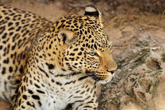 Leopardporträt lizenzfreies stockfoto