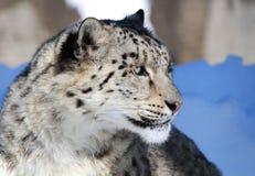 leopardportrairsnow Royaltyfri Foto