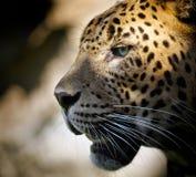 Leopardportrait Lizenzfreie Stockfotos