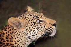 Leopardportrait stockfotografie