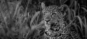 Leopardprins royaltyfri foto