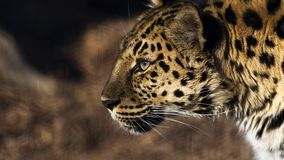 Leopardprofil lizenzfreie stockbilder