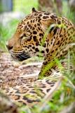 Leopardprofil royaltyfri fotografi