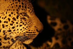 Leopardprofil Arkivbilder
