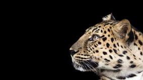Leopardprofil Arkivfoton