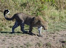Leopardprofil Tom Wurl Royaltyfria Foton
