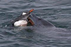 Leopardrobbe, die versucht, die Gentoo-Pinguine im A zu ergreifen Stockfoto