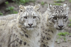 leopards χιόνι Στοκ Φωτογραφία