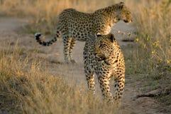 leopards δύο που περπατούν Στοκ Εικόνες