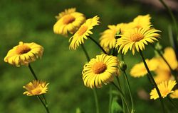 Leopards Bane (Amica montana). A clump of spring flowering, Leopards bane, sometimes called Wolfs bane Stock Photography
