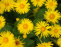 Leopards Bane Background Royalty Free Stock Photos