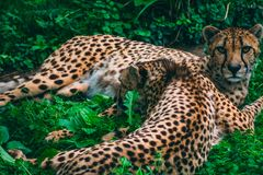 Leopards cuddling in the grass royalty free stock photo
