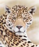 Leopards framsida fotografering för bildbyråer